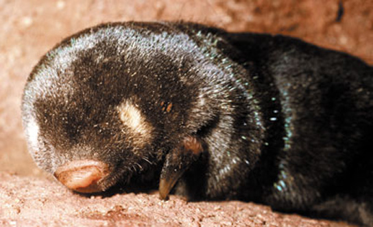 studied-golden-mole1