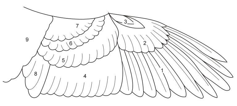 BirdWingFeatherSketch